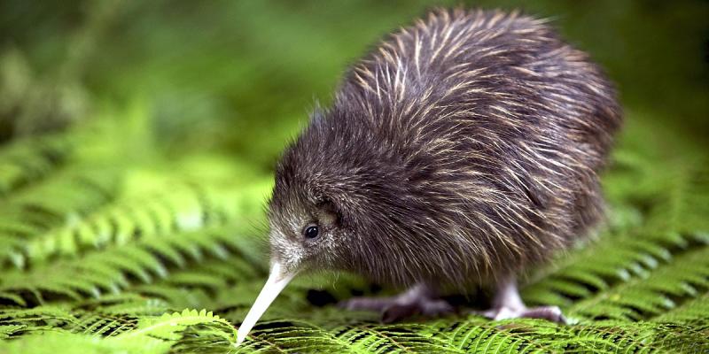 Птица киви, Птичка киви Новая Зеландия