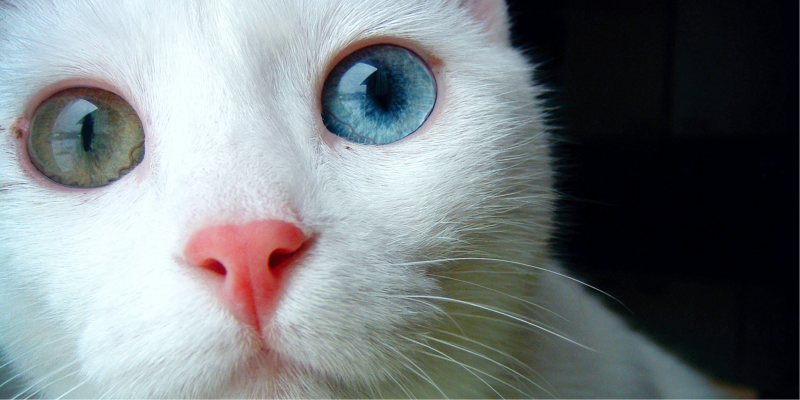Разные глаза у кошки, Гетерохромия